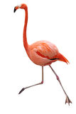Single Flamingo Royalty Free Stock Photo