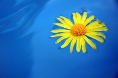 Single Floating Dandelion. A yellow dandelion floats in blue water with a ripple effect Stock Photo