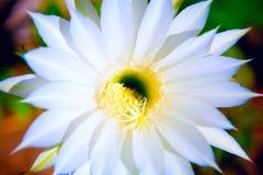 Single flower. Beautiful white flowers of cactuses Stock Photo