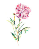 Single flower. Single   flower detailed watercolor art Royalty Free Stock Images