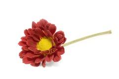 Single flower. Isolated on white background Stock Images