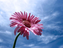 SINGLE FLOWER. FLOWER REACHING FOR THE SKY Royalty Free Stock Photos