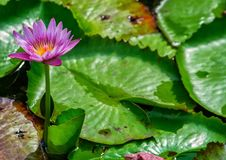 Single flower amongst a pond of lily pads Stock Images