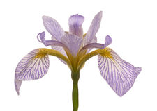 Single flower of a blue and white iris Royalty Free Stock Photography