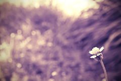 Single flower. On blur background Royalty Free Stock Photography