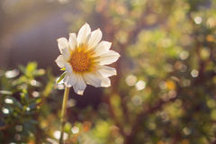 Single flower with bokeh. Background royalty free stock images