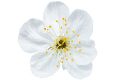 Single flower of cherry. Isolated on white background. Royalty Free Stock Images
