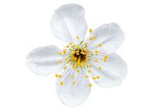 Single flower of cherry. Isolated on white background. Royalty Free Stock Photo