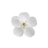 Single flower of cherry. Isolated on white background Royalty Free Stock Photos