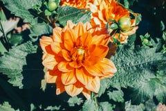 Single flower Chrysanthemum shine-orange color, blue toning. Green leaves background, close-up stock photo