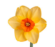 Single flower of a daffodil cultivar against a white background. Single flower of the orange and red, small-cup daffodil cultivar Red Diamond isolated against a Stock Photos