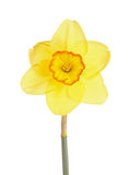 Single flower of a daffodil cultivar against a white background. Single flower and stem of the yellow and red, small-cup daffodil cultivar Pacific Rim against a stock images