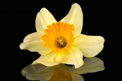 Single flower of daffodil Narcissus on black background. Reflection royalty free stock photography