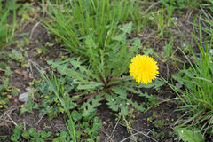 Single flower of dandelion in open uncultivated land Stock Image