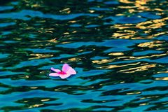 Single Flower Floating. A lavender periwinkle floats serenely on dark aqua blue water with gold highlights and dark green lowlights on the small waves Stock Images