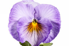 Single flower of garden pansy isolated on white background Royalty Free Stock Photography