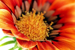 Single flower of Gazania. (Splendens genus asteraceae).Isolated Stock Photos