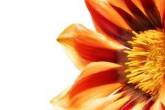 Single flower of Gazania. Royalty Free Stock Images