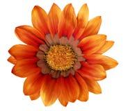 Single flower of Gazania. (Splendens genus asteraceae).Isolated Royalty Free Stock Photo
