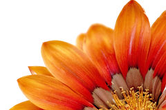 Single flower of Gazania. (Splendens genus asteraceae).Isolated Stock Images