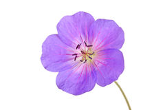 Single flower of a geranium cultivar Royalty Free Stock Images