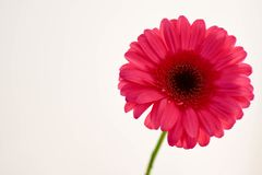 Single flower, gerbera, with white background royalty free stock photography