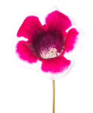 Single flower Gloxinia  isolated on white Stock Photography