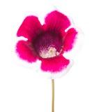 Single flower Gloxinia  isolated on white Stock Photography