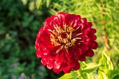 Single flower head of red gerbera in sunlight Royalty Free Stock Photos