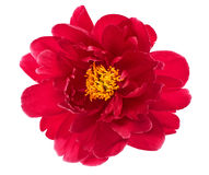 Single flower head of red peony isolated on white Stock Photography