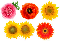 Single flower heads. Ranunculus, sunflower, gerber Royalty Free Stock Image