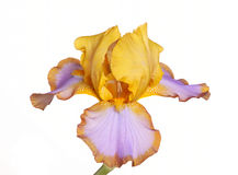 Single flower of iris cultivar Brown Lasso Royalty Free Stock Photography