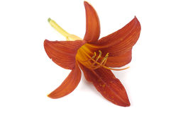 Single flower of lily Stock Photography