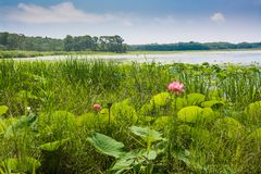 Single flower of lotus among greenery near water edge. Stock Photo