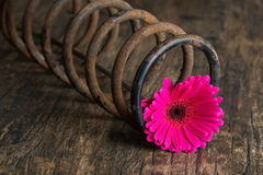 Single flower in metal spring on grunge wood surface artistic co Royalty Free Stock Photos