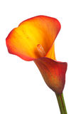 Single flower of an orange calla lily. Single flower and stem of an orange and yellow calla lily (Zantedeschia) isolated against a white background stock image
