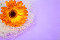 Single flower orange gerbera bright paper delicate Stock Image