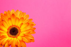 Single flower orange gerbera bright paper Royalty Free Stock Image