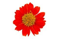Single flower Royalty Free Stock Photos