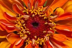 Single flower of orange zinnia  - close up Stock Photo