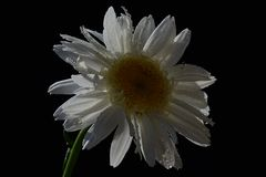 Single flower of ox-eye daisy Leucanthemum Vulgare with drops of water on white petals, black background, natural afternoon contre Royalty Free Stock Photography