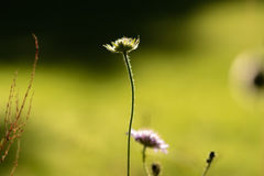 Single Flower. Picture of a flower growing tall. Small Field of focus makes background blurry Stock Photography