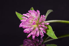 Single flower of pink clower isolated on black background Royalty Free Stock Photo