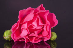 Single flower of pink rose with buds  isolated on dark background Royalty Free Stock Photography