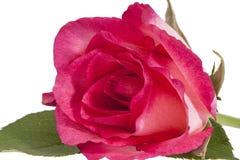 Single flower of pink rose isolated on white background Stock Photo