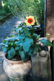 A single flower in a pot shines like a mini sun. A single golden flower with lush green leaves sits in a clay pot and leans on an old fuel canister in dappled Stock Images