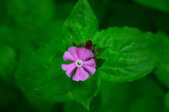 Single flower of red campion Stock Images
