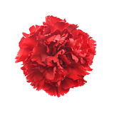 Single flower, red carnation isolated on white background. Top v Stock Image