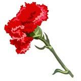 Single flower red carnation Stock Image