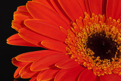 Single flower of red gerbera on black background Royalty Free Stock Photo